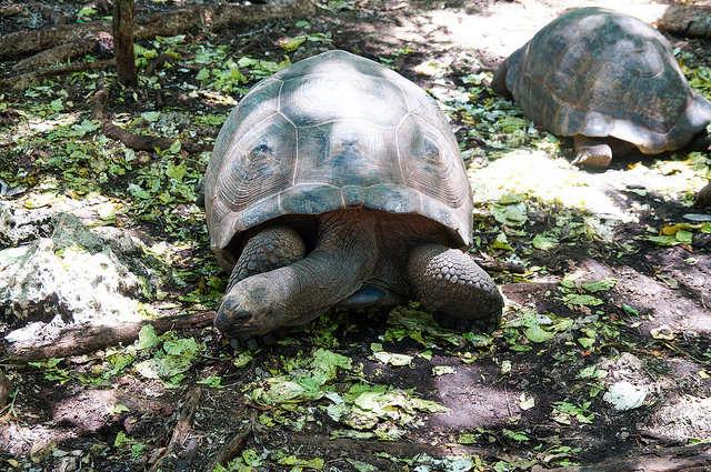 Giant Turtles on Prison Island, Zanzibar